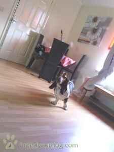 tri colour basset hound Listing Image