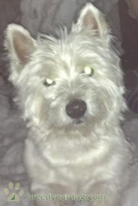 Pure White Pedigree Westie Listing Image