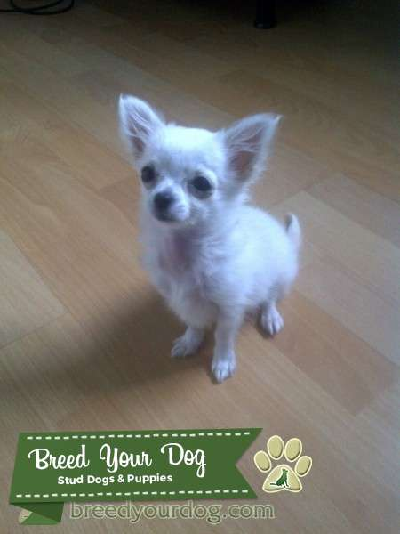 Long haired white and cream miniature chihuahua Listing Image Big