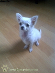 Long haired white and cream miniature chihuahua Listing Image Thumbnail