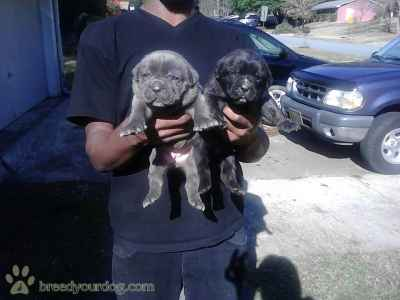 Stud Dog - AKC Champion Sire Cane Corso Pups - Breed Your Dog