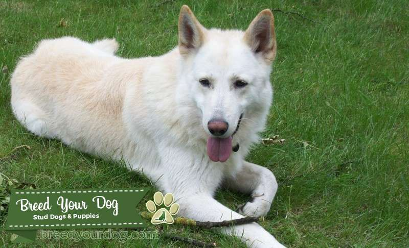 WHITE PEDIGREE GERMAN SHEPHERD FOR STUD - Rocky Listing Image Big