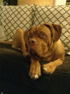 Dogue de Bordeaux for stud - Campion lines, famous European kennels Listing Image