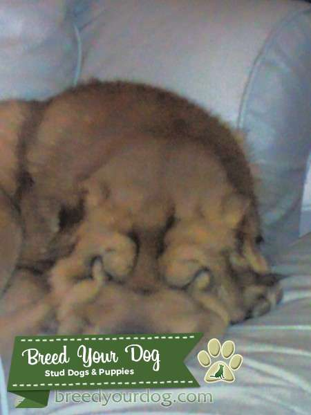 Bear Coat Shar pei Listing Image Big