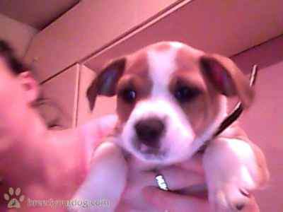 playful jack Russell  Listing Image
