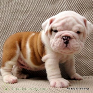 English Bulldog Forsale Listing Image