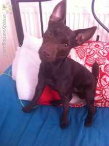 Chocolate brown patterdale Listing Image