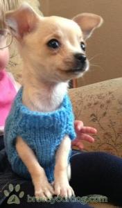 Tiny chihuahua male  Listing Image Thumbnail