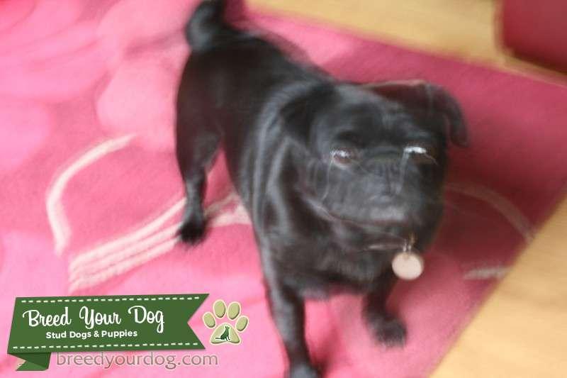 black pug Listing Image Big