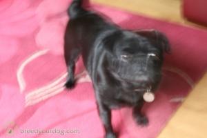 black pug Listing Image Thumbnail