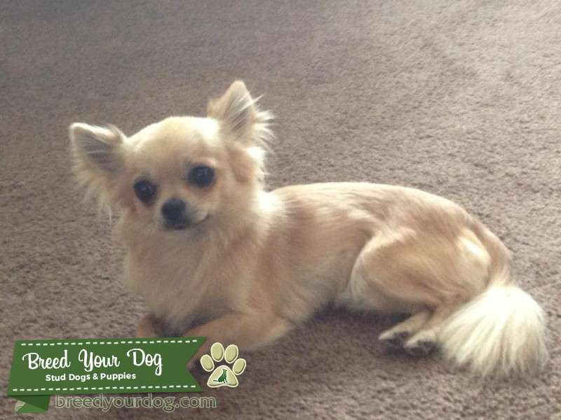 Stud Dog - Handsome pedigree long hair cream Chihuahua - Breed Your ...