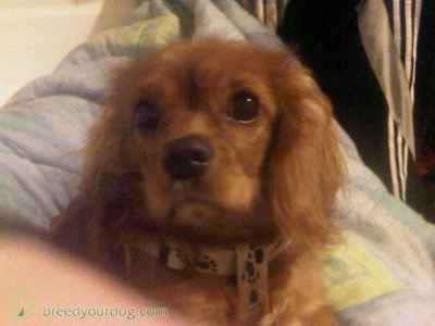 ruby king charles for stud only Listing Image