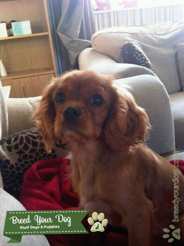 ruby king charles for stud only Listing Image Big
