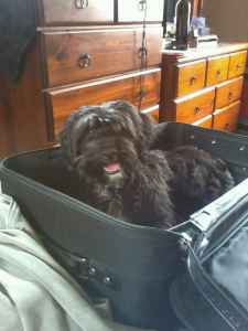 Tibetan Terrier to stud  Listing Image