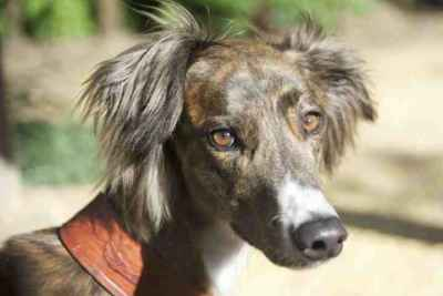Stunning Brindle Saluki x Greyhound Listing Image
