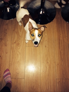 Male dog mating jack Russell  Featured Image