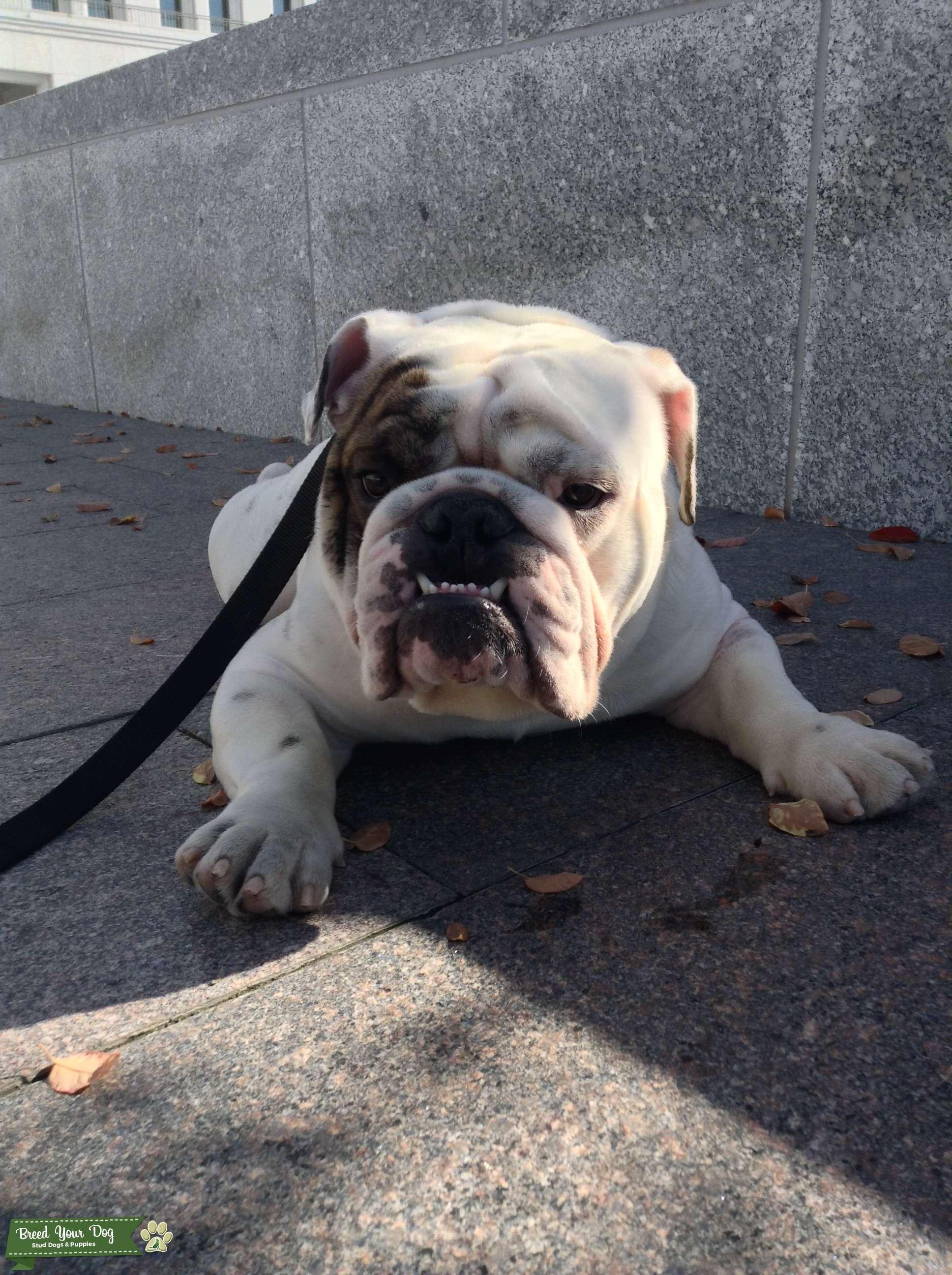 stud dog - white english bulldog