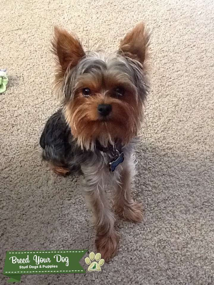 Stud Dog Akc Purebred Yorkie Stud Breed Your Dog