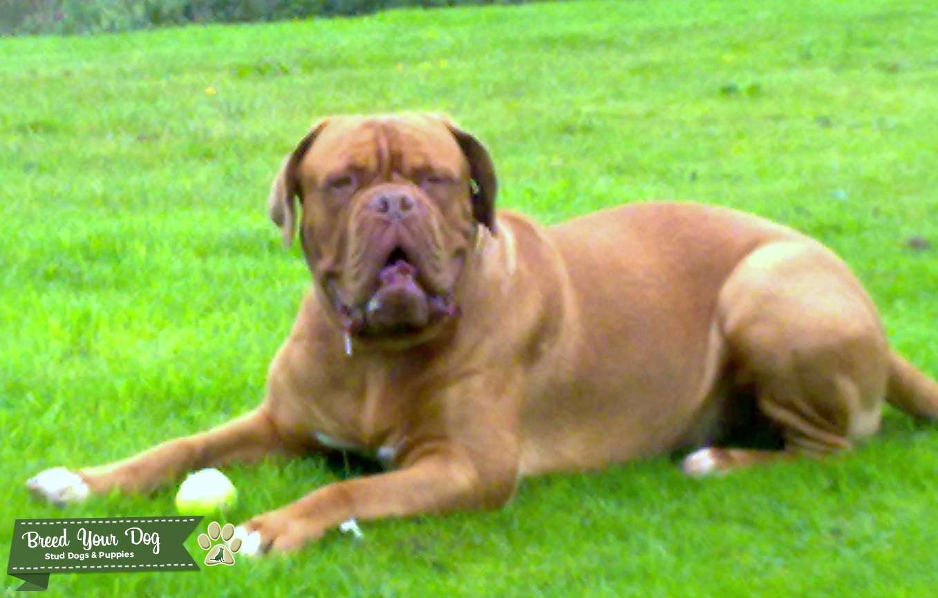Beautiful big dogue de bordeaux for stud Listing Image Big