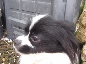 BLACK AND WHITE PAPILLON Listing Image