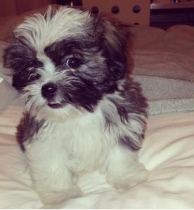 Havanese Maltese Mix, 5 month old male dog Listing Image