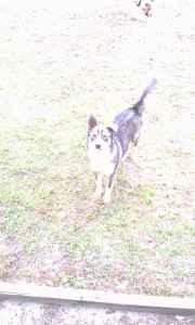 Wanted: Future Husky Stud Listing Image