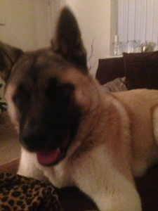 Male , full pedigree, all up to date jabs, Japanese Akita for stud, no papers  Listing Image