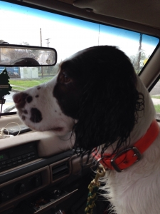 Looking for stud show springer to mate with my field breed springer  Listing Image