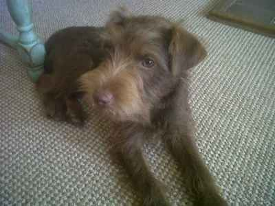 Working Patterdale for Stud - Rough Coated, Chocolate Listing Image