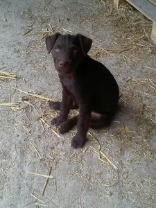 Chocolate patterdale  Listing Image