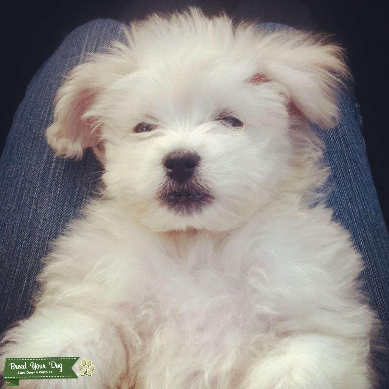 Stud Dog White Maltese Poodle For Breeding Breed