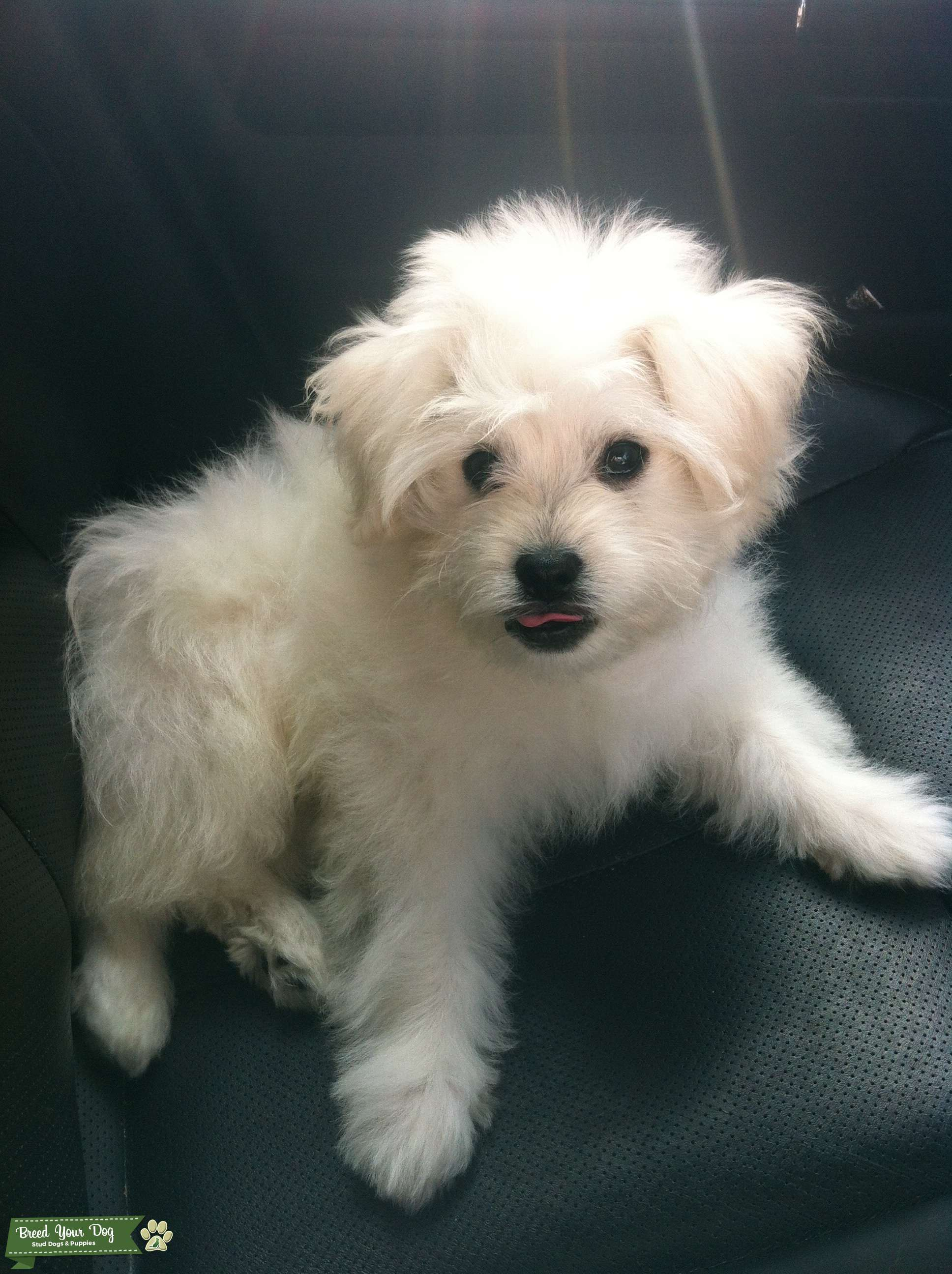 Stud Dog White Maltese Poodle For Breeding Breed