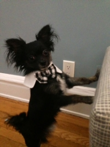 Very Sweet Full-Bred AKC Registered Long-Haired Chihuahua For Stud Listing Image