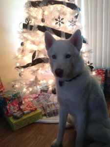 Pure White Siberian Husky Listing Image
