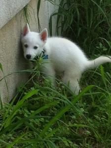 Pure White Siberian Husky Listing Image Thumbnail