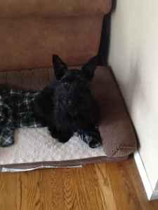 Scottish terrier  Listing Image