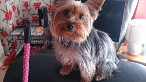 Yorkshire terrier for.stud Listing Image Thumbnail