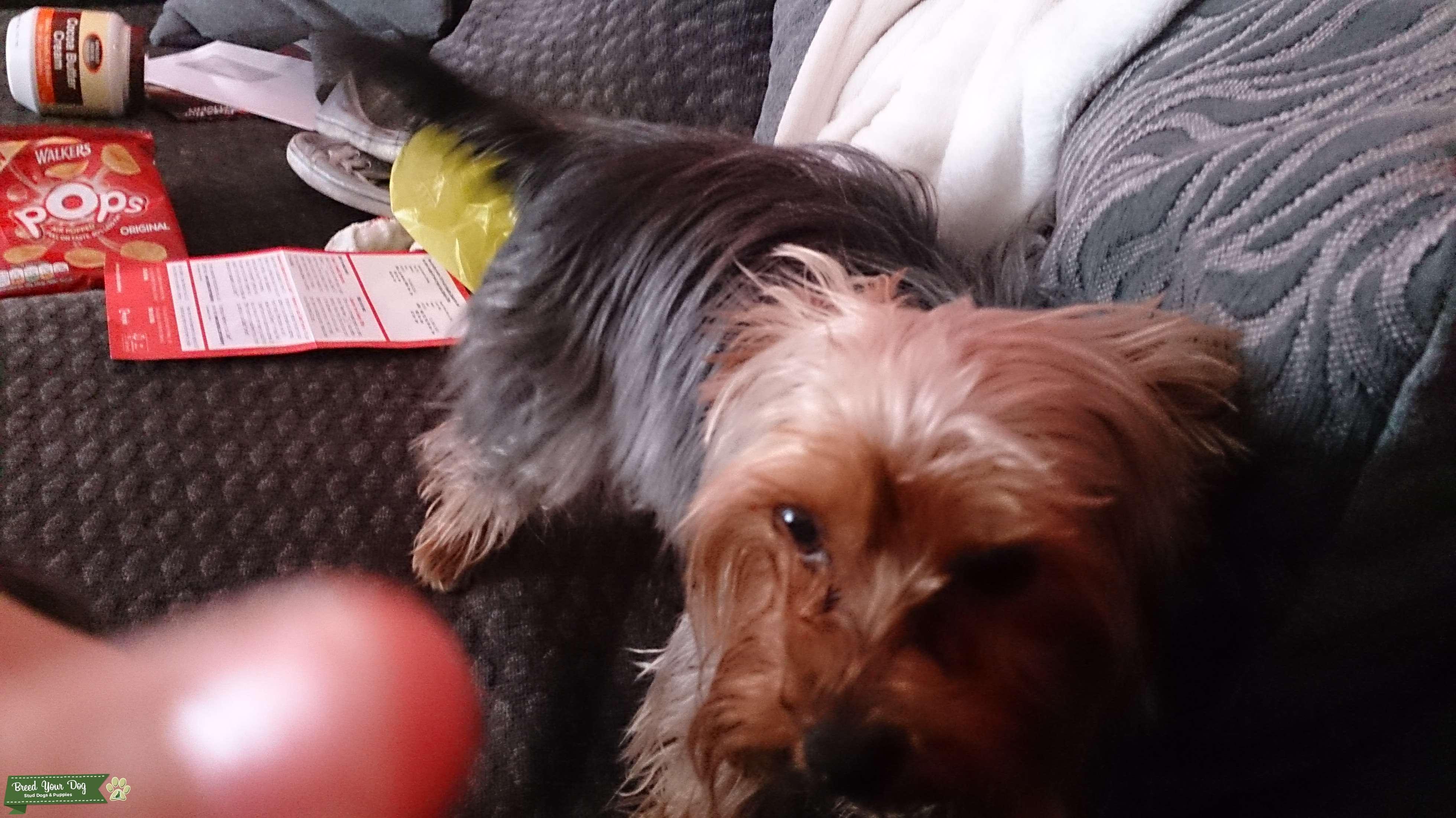 Yorkshire terrier for.stud Listing Image Big