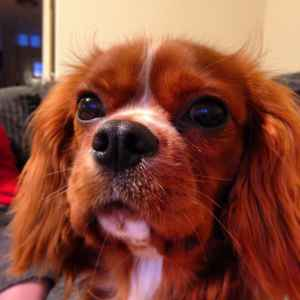 PEDIGREE KING CHARLES SPANIEL FOR STUD Listing Image