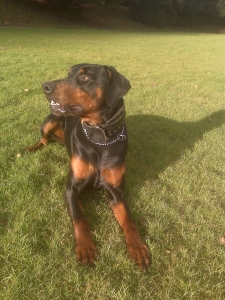 Black and Tan Doberman Stud Listing Image