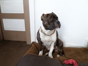 Stud Dog - Male American Bully for STUD A B K C Reg  Grand