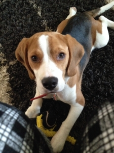 Handsome Beagle Featured Image