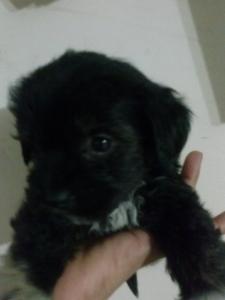 Poodle Listing Image