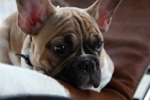 Healthy & Handsome Fawn Pied Frenchie Listing Image