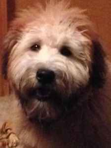 Handsome Wheaten Terrier  Listing Image