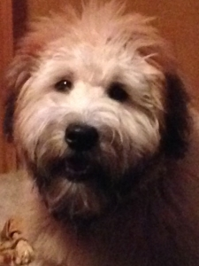 Handsome Wheaten Terrier  Listing Image