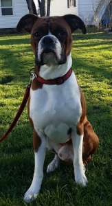 Purebred AKC Registered Fawn Boxer for Stud Listing Image Thumbnail
