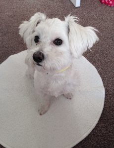 Maltese/Westie stud dog(not for sale) Listing Image