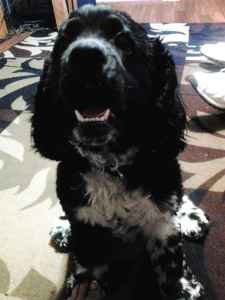 My Oreo is looking for a female Cocker Spaniel Listing Image
