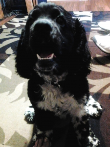 My Oreo is looking for a female Cocker Spaniel Listing Image Thumbnail